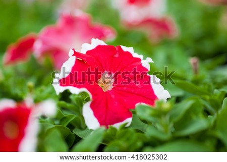 Image full of colourful petunia Petunia hybrida flowers - stock photo