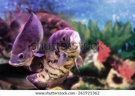 image of a beautiful aquarium fish Astronotus - stock photo