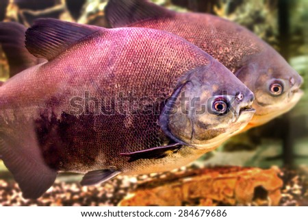 image of a beautiful aquarium fish black pacup - stock photo