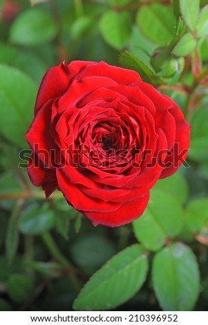 Image of a beautiful red rose