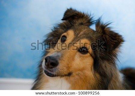 Image of a beautiful Sheltie on bluish background - stock photo