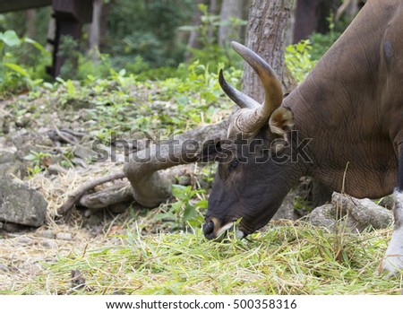 Image of a brown bull on nature background.