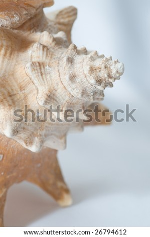 Image of a conch seashell on white background