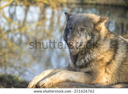 Image of a european wolf resting on a wood. - stock photo