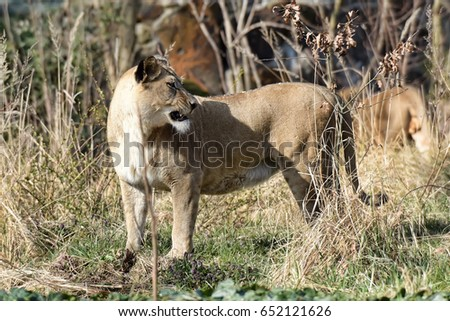 Image of a female lion on nature background. Wild Animals.
