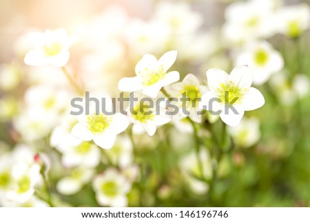 Image of a field of delicate little white blossoms