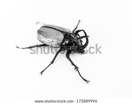 image of a giant male five-horned Rhino Beetle