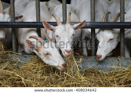 Image of a group of goats eating through a metal grid