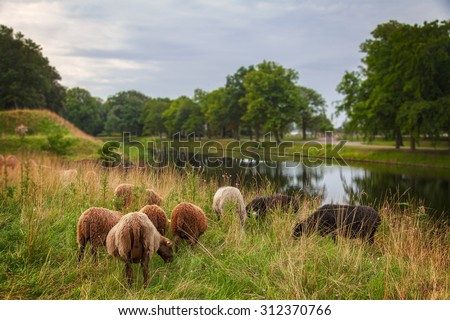 Image of a herd of sheep grazing in the morning.  - stock photo