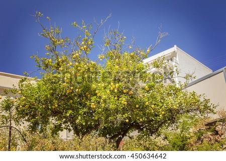 Image of a lemon tree full of ripe fruit.  - stock photo