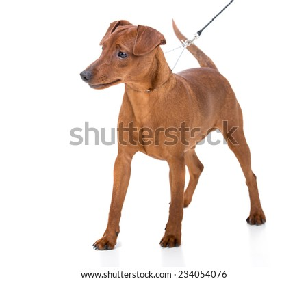 Image of a miniature pinscher. Isolated on white background. - stock photo