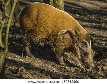 Image of a red river hog searching for food in the soil. - stock photo