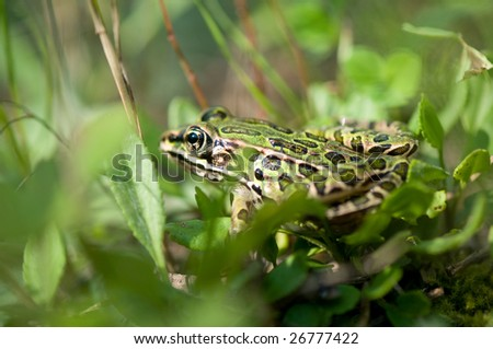 Image of a small green leopard frog standing in grass.