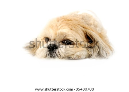 Image of a very cute Lhasa with puppy eyes on a white background - stock photo