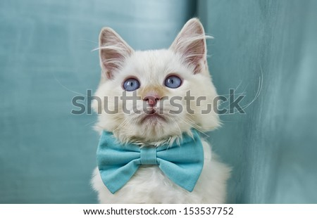 Image of a very cute Ragdoll Cat sporting a blue bowtie - stock photo