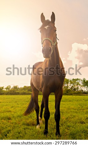 Image of a young stallion posing in a field. - stock photo