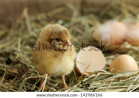 Image of adorable hatched chick on hay background, close-up - stock photo