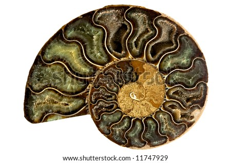 Image of an ancient fossilized nautilus shell isolated on a white background - stock photo