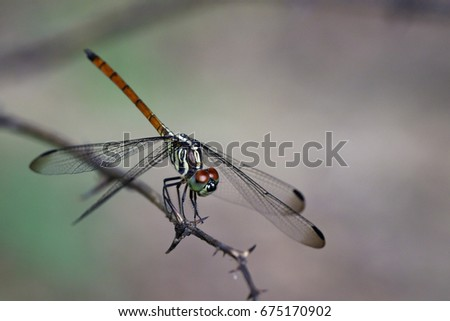 Image of Asiatic Blood Tailed Dragonfly(female) on dry branches. Insect Animal. (Lathrecista asiatica)