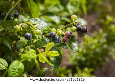 Image of blueberry bush with ripe and unripe fruit.  - stock photo