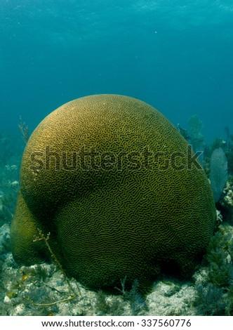 Image of brain coral underwater in the ocean - stock photo