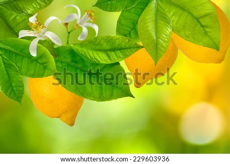 image of branches with lemons on green background closeup - stock photo