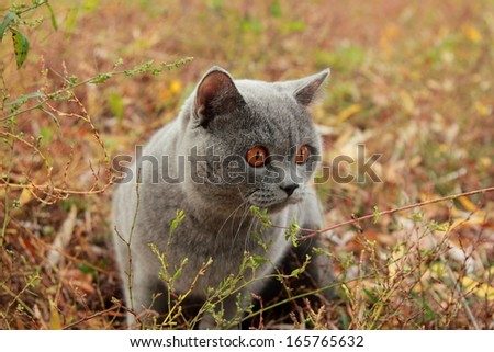 Image of british shorthair cat outdoor walking in harness, autumn time