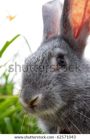 Image of cautious grey bunny looking at camera - stock photo
