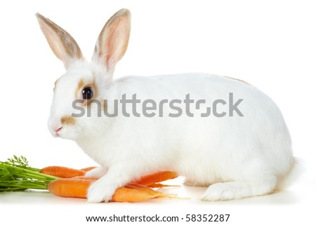 Image of cautious rabbit with juicy carrots sitting in isolation - stock photo