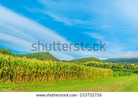 image of corn field and clear blue sky in background. - stock photo