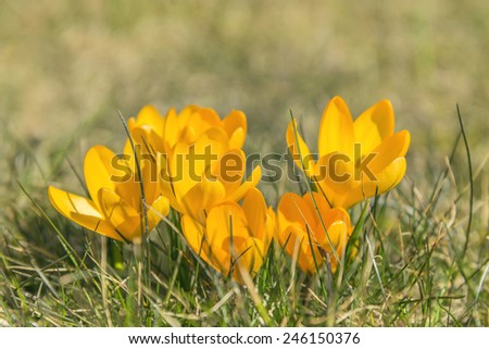 Image of Crocus flowers in Northern Germany - stock photo