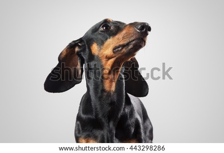 Image of dachshund isolated on gray - stock photo