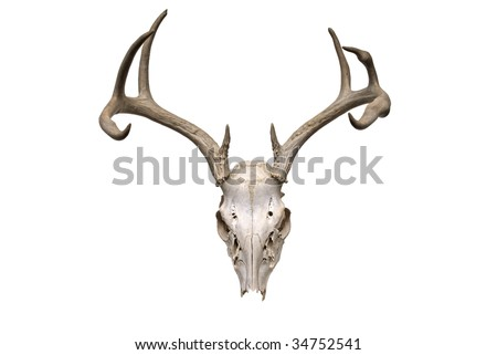 Image of deer skull on white background - stock photo
