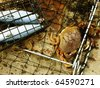 Image of dungeness crab in net - stock photo
