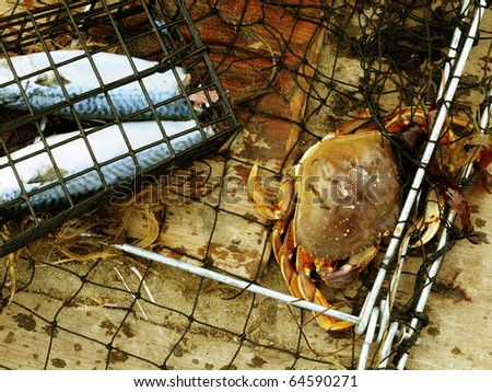 Image of dungeness crab in net