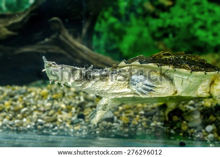 Image of freshwater exotic turtles Matamata - stock photo