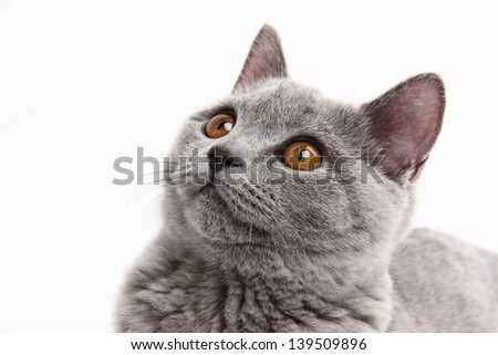 Image of funny charming young british cat