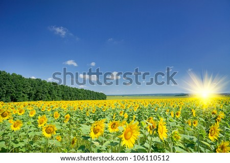 Image of golden plantation sunflowers. - stock photo