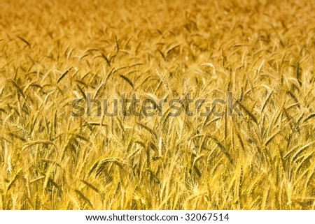 image of golden wheat field, natural background