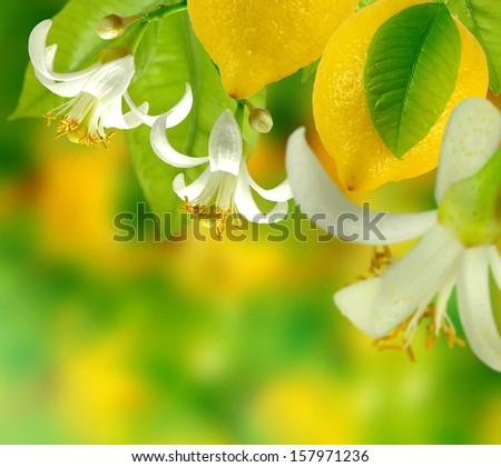 image of lemons growing in the garden - stock photo