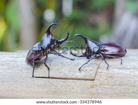Image of  Male Rhinoceros beetle are fighting on wooden with nature background Rhinoceros beetle, Rhino beetle,Fighting beetle - stock photo