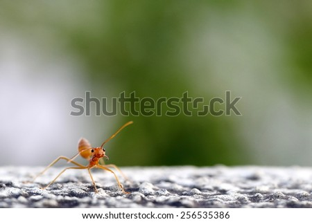 Image of Red Fire Ant with Large Empty Space for Possible Writing or Title - stock photo