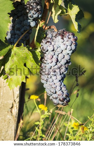 Image of red wine grapes on grapevine in Tuscany, Italy - stock photo