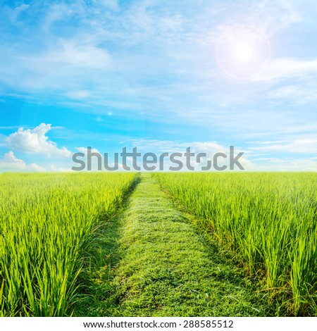 image of rice field and clear blue sky for background usage.
