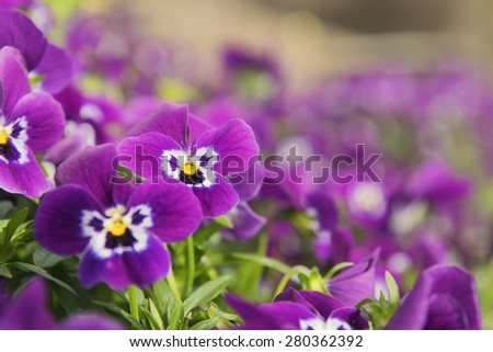 Image of several pansies in a flower bed - stock photo