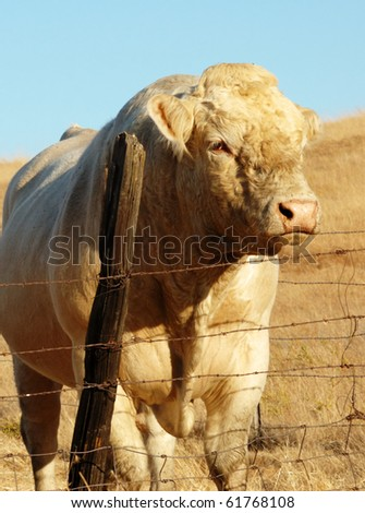 Image of single bull in open field - stock photo