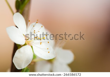 Image of spring blossom on neutral background - stock photo