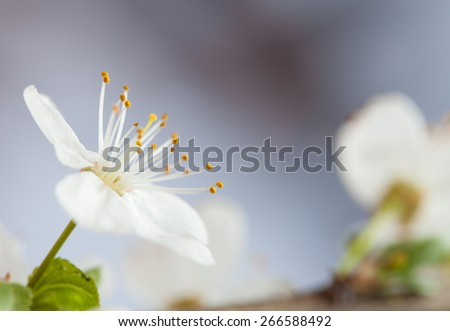 Image of spring white blossom on neutral background - stock photo