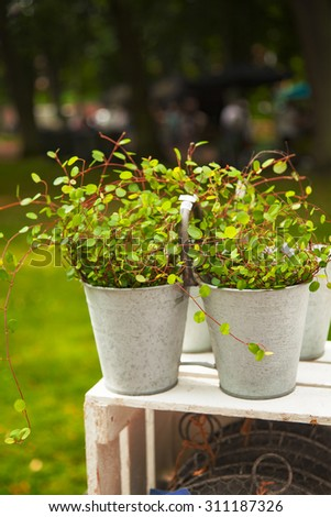 Image of the delicate Wire Vine plant (muehlenbeckia axillaris), in metal plant pots.  - stock photo