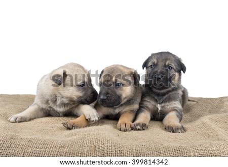 Image of three small cute dog puppy - stock photo